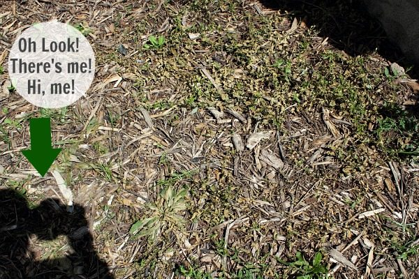 This natural weed killer recipe is perfect for killing bindweed and other pesky weeds in your flower beds and requires just three common ingredients.