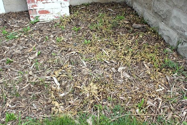 How to Kill Bindweed - Success!