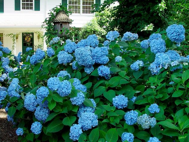 Hydrangeas and other uses for coffee grounds in the garden!