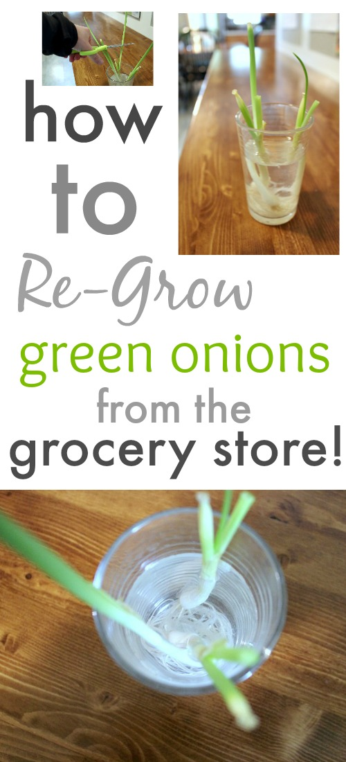 Always have fresh green onions on hand by learning how to regrow your green onions from the grocery store right in your kitchen!