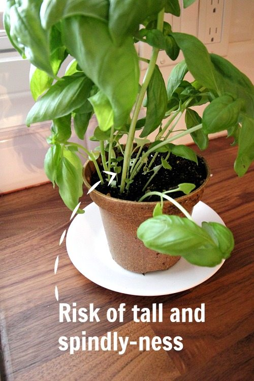 How to Harvest Basil - One of the risks