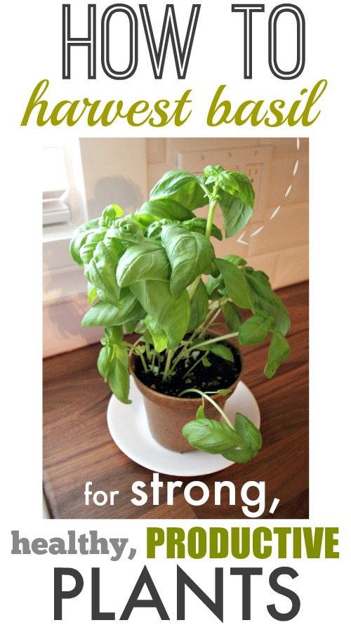 Whether it's fresh from the garden or in a flower pot on the counter, the taste and smell of basil is always warm and welcoming.  However, keeping your plant looking healthy can be a challenge when you're always picking at it's leaves.  Here's how to harvest basil and still leave your plant healthy and productive.