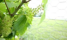 grapes10