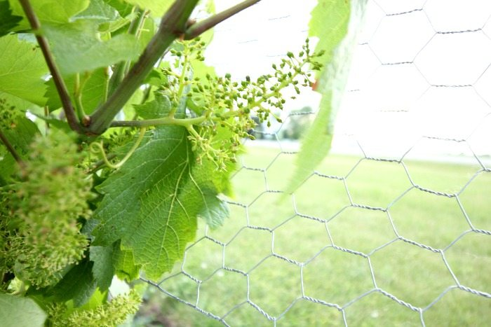How To Successfully Grow Your First Grape Vines The