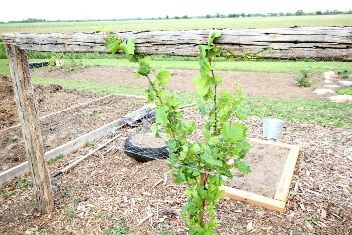 Successfully grow your own grape vines using these handy tips. How to select a variety, find the perfect location, build a trellis and care for your plants!