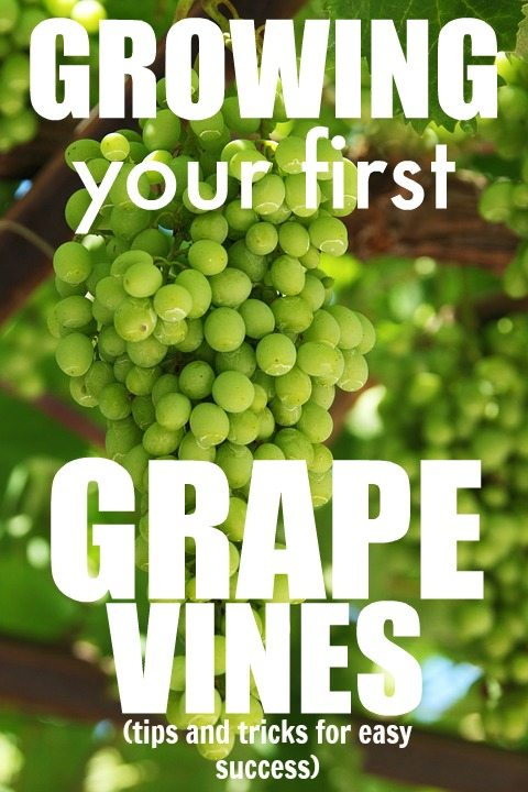 How To Successfully Grow Your First Grape Vines The Creek Line House