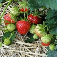 How to Protect Strawberries From Birds and Other Pests!