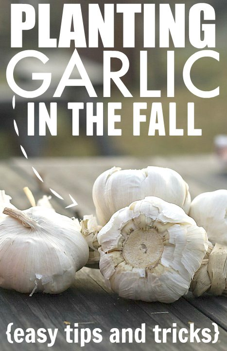 How to plant garlic in your fall garden.
