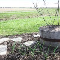 An Update on Our Garlic Plantings
