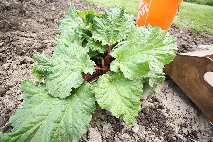 When to Harvest Rhubarb - Strong, Healthy Plant
