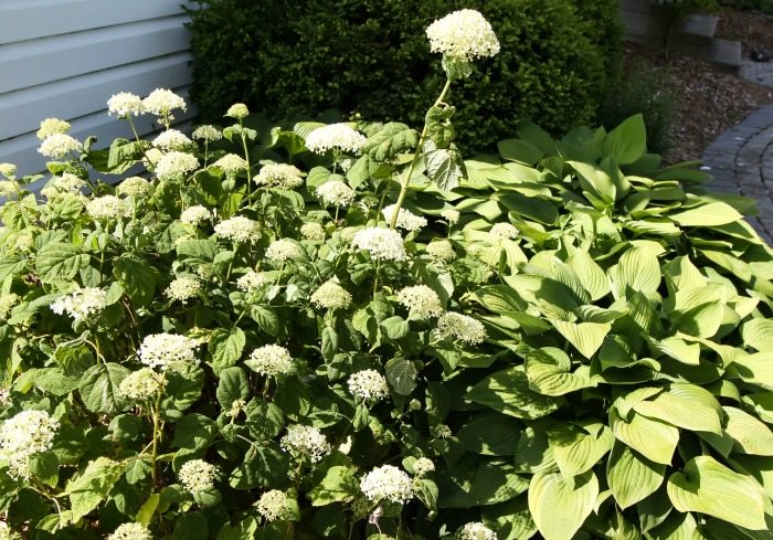 Try this simple hydrangea trick if your plants never quite look as beautiful as you'd like them to!