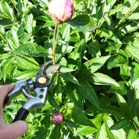 How to Make Your Peony Blossoms Last for Up to a Month!