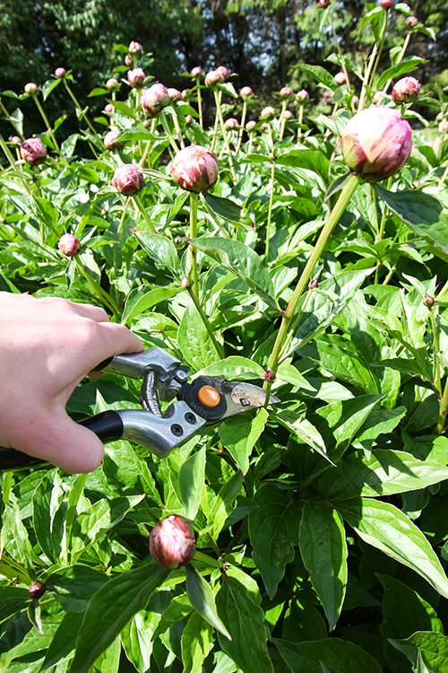 Great gardening trick! How to make your peony blossoms last for up to a month!