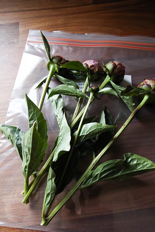 Make Your Peonies Last Longer