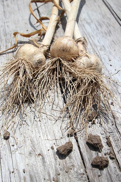How to properly harvest all that garlic you planted last fall!