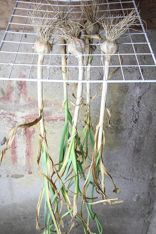 The next and final steps in our journey to grow our own garlic.  Join us and learn how to harvest garlic and store it for use in your favorite recipes!