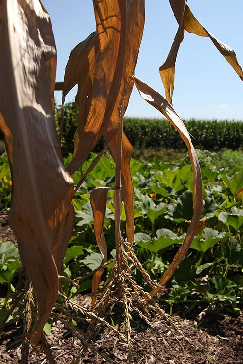 How to dry corn stalks from your garden to use in fall decor!