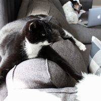 Essential Oils and Cats: How to Use Essential Oils Safely