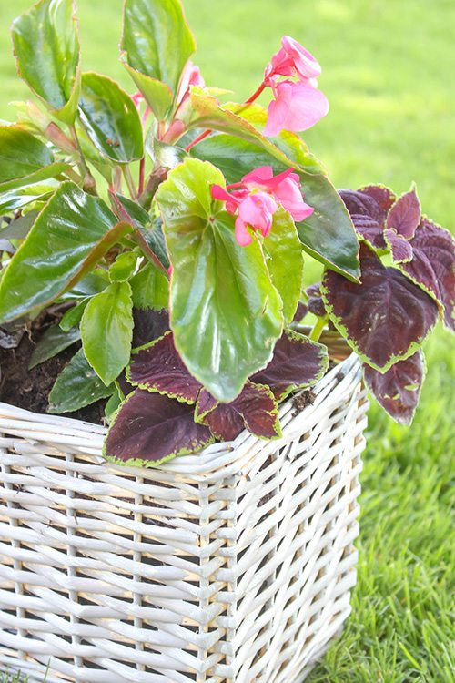 Using baskets as planters is a great, unique way to bring charm and texture into your garden. You can recycle your favourite baskets that you no longer need in the house or find some great baskets to use at thrift stores and flea markets!