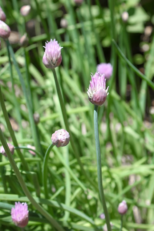 I've learned a few key things over the last few years about helping chives to do really well in my garden so in today's post we'll be talking about how to grow chives!