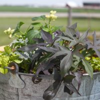 Using Galvanized Containers as Planters