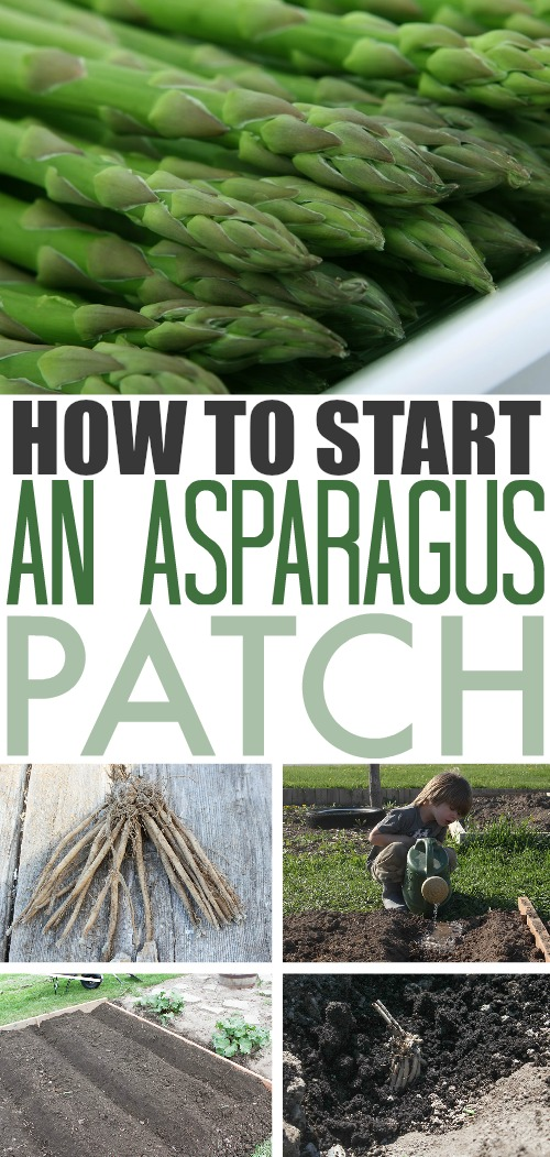 Asparagus is a great addition to any backyard garden. Once you get it established it will continue to provide for you every spring with very little effort required to keep it happy and healthy. Read on for more details on how you can plant asparagus in your garden!
