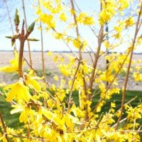 How to Propagate Forsythia