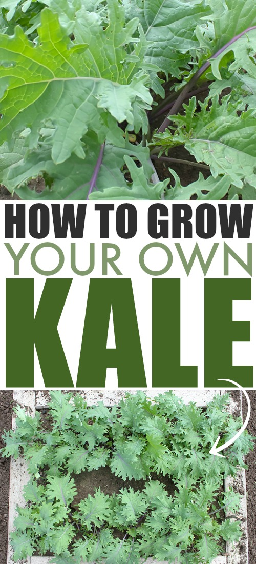 It's easy to grow this leafy green superfood right in your own backyard garden or even in containers! Here's everything you need to know about how to grow kale!