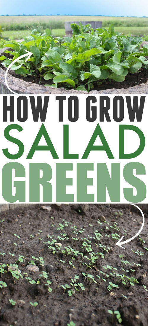 Leafy green vegetables are among some of the most healthy foods on the planet, and they're also the most convenient when it comes to sneaking more veggies into your diet. Here's how to easily grow salad greens in your garden!