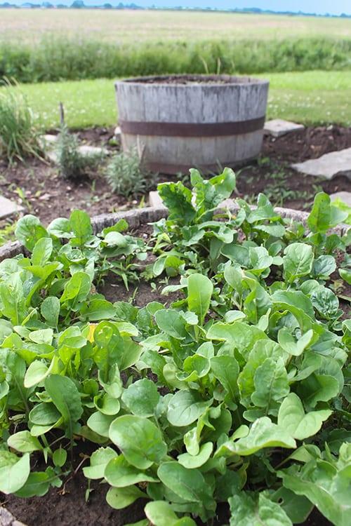 Grow Leafy Greens