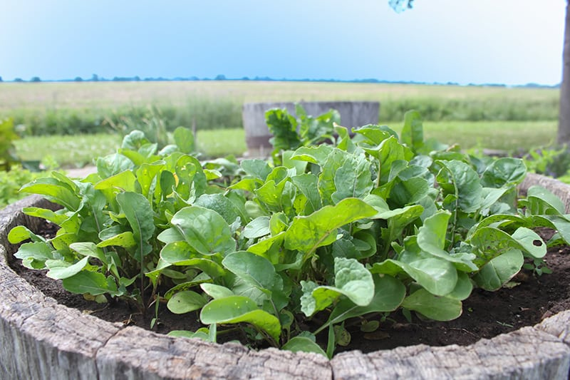 Leafy green vegetables are among some of the most healthy foods on the planet, and they're also the most convenient when it comes to sneaky more veggies into your diet. Here's how to easily grow salad greens in your garden!