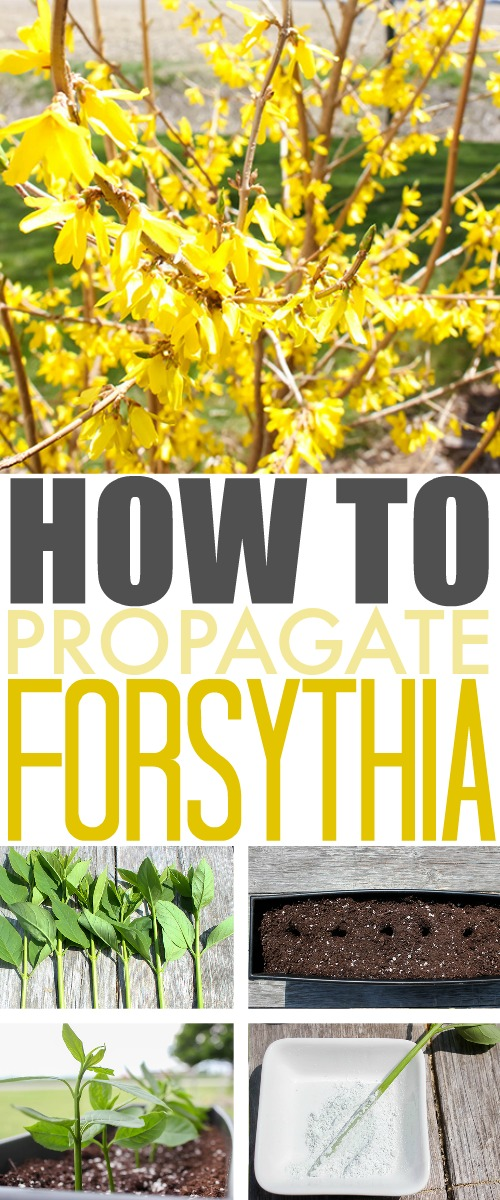 Follow these easy steps to propagate forsythia bushes so your yard can be a beautiful sea of yellow flowers at the beginning of every spring!