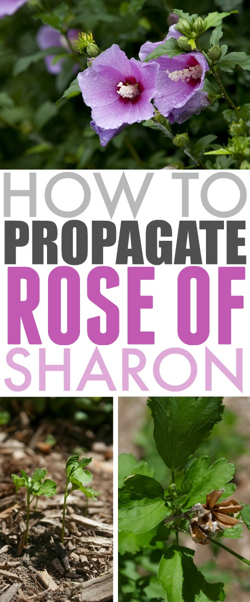 How to propagate Rose of Sharon shrubs so you can enjoy their beautiful blooms all over your garden every summer!