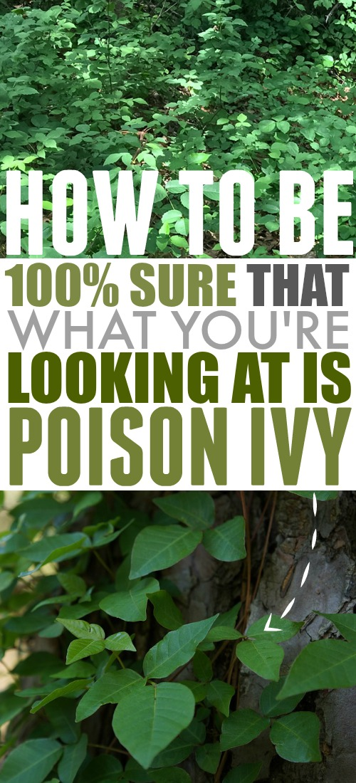 If you're going to be heading out into a forested area with lots of low-growing greenery, definitely make sure that you know how to identify poison ivy so you can protect yourself and your family.