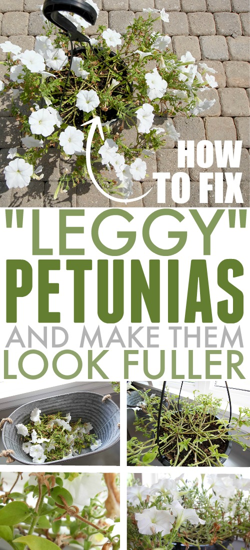Petunias can be some of the most eye-catching summer flowers, but they can also start to look a little sad as the season wears on. Today I'm sharing what to do to fix leggy petunias so they'll look full and beautiful all summer long!