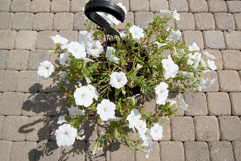 How to Properly Prune Petunias