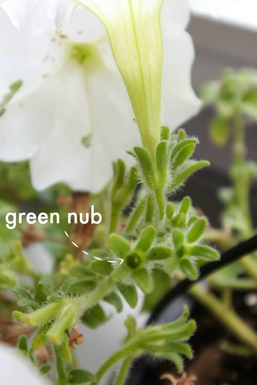 Green Nub