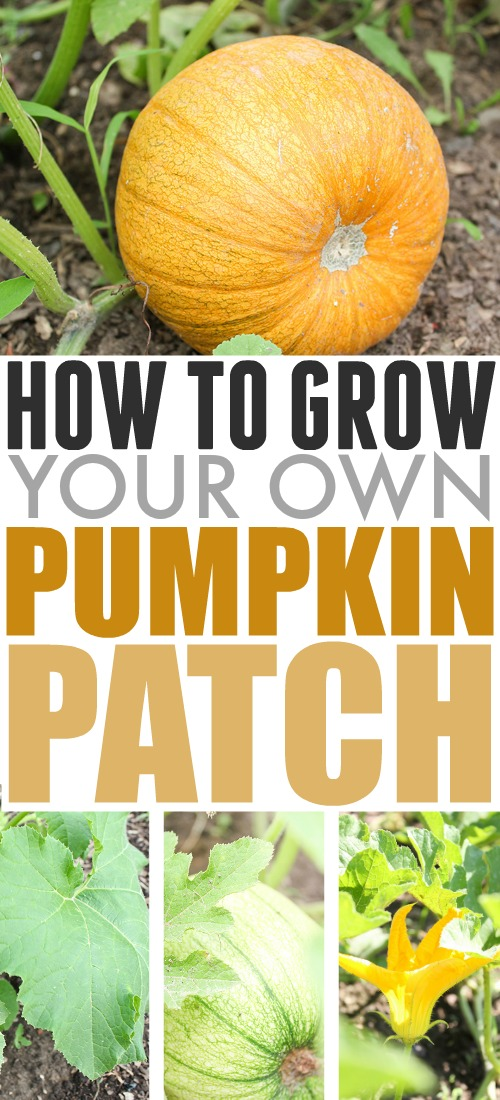 In this post, learn how to grow pumpkins in your garden for fall decorating and fall treats!