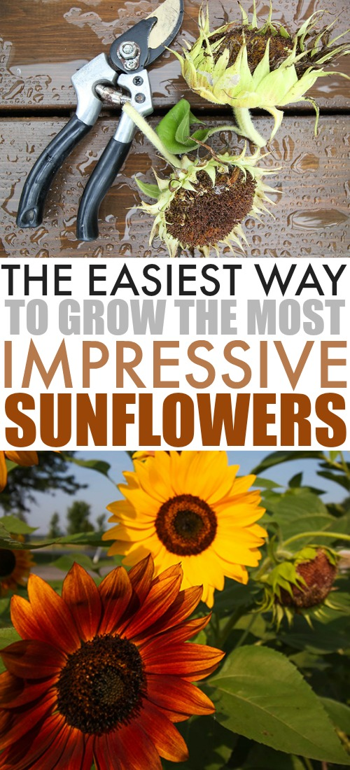 Sunflowers have become an essential part of our garden every year and we've learned a few methods for making them super easy to grow successfully. Here are our tips for how to grow sunflowers!