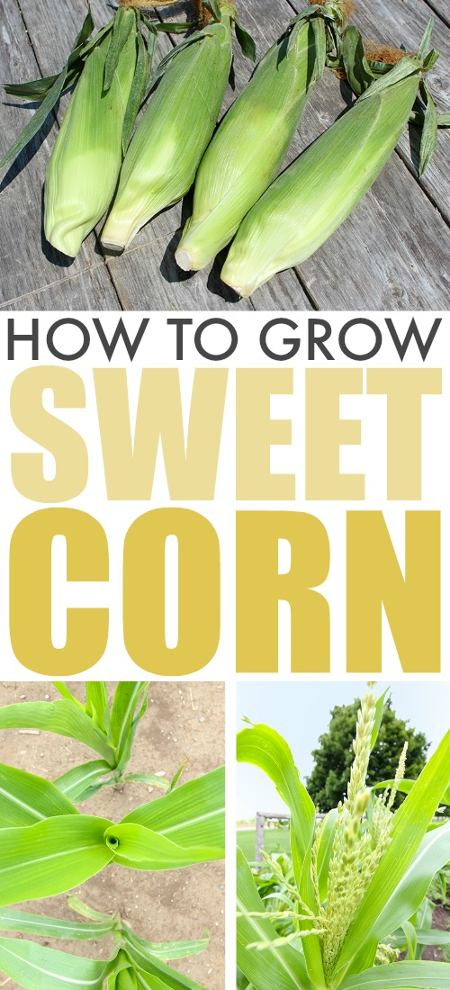 Corn on the cob is one of the best things about summer meals and it's even better if you grew it yourself! Here are some of our best tips for how to grow sweet corn!