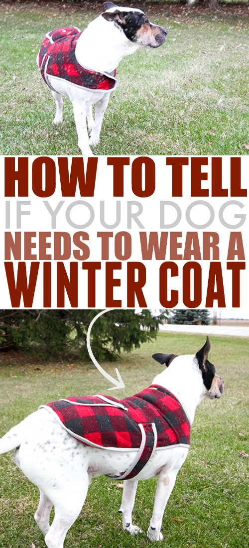 We often think of sweaters and winter coats for dogs as kind of silly and just for show, but the truth is that your dog might need that extra warmth during the winter, just like you do! Here's how to tell if your dog should wear a winter coat.
