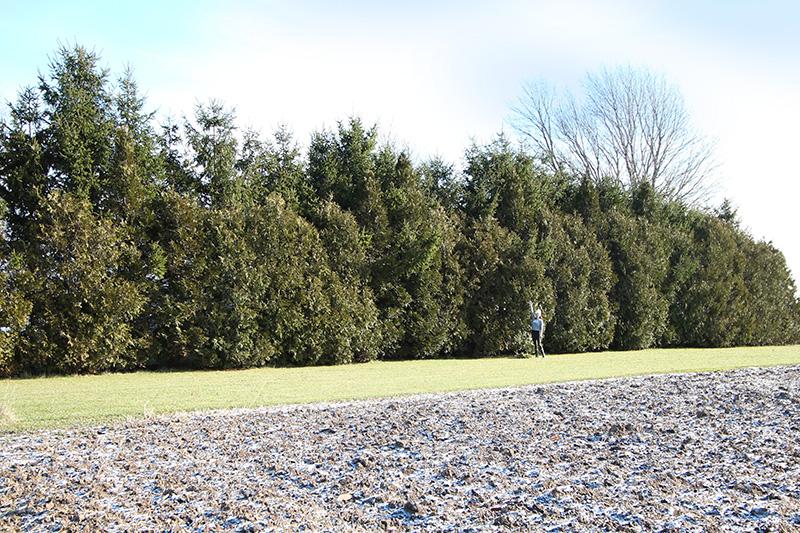 A mountain of fresh cedar