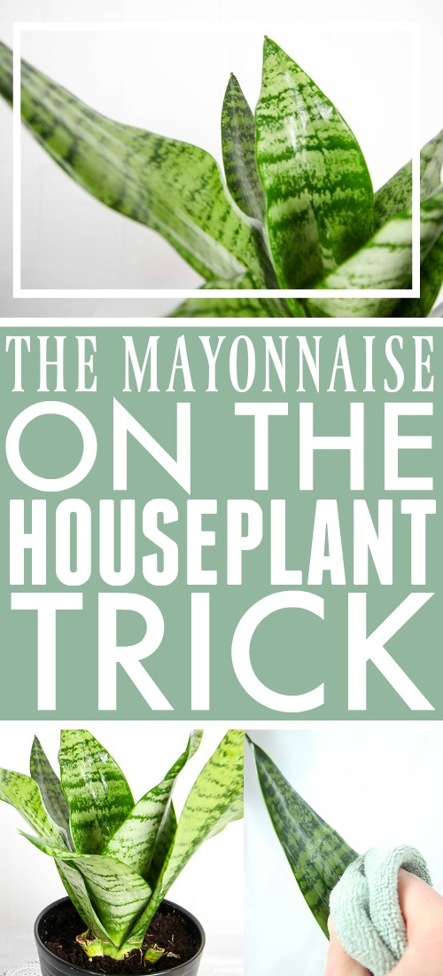 The mayonnaise houseplant trick for healthy, shiny plants!