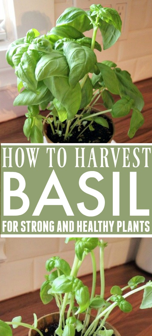 Whether it's fresh from the garden or in a flower pot on the counter, the taste and smell of basil is always warm and welcoming.  However, keeping your plant looking healthy can be a challenge when you're always picking at its leaves.  Here's how to harvest basil and still leave your plant healthy and productive.