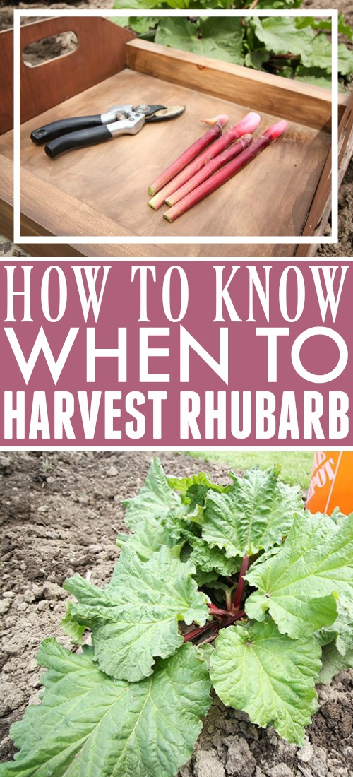 Get the most out of your rhubarb plants with these rhubarb growing tips and find out when is the best time to harvest rhubarb.