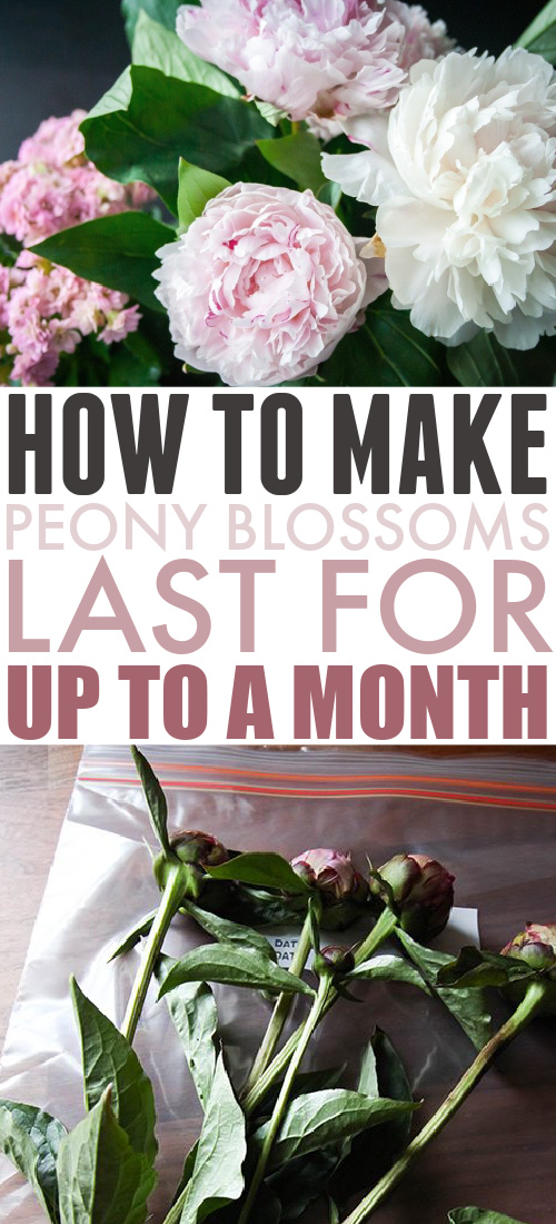 Extend peony blossom season with this simple trick to make peonies last longer. You'll be able to enjoy your peonies blossoms for up to a month.