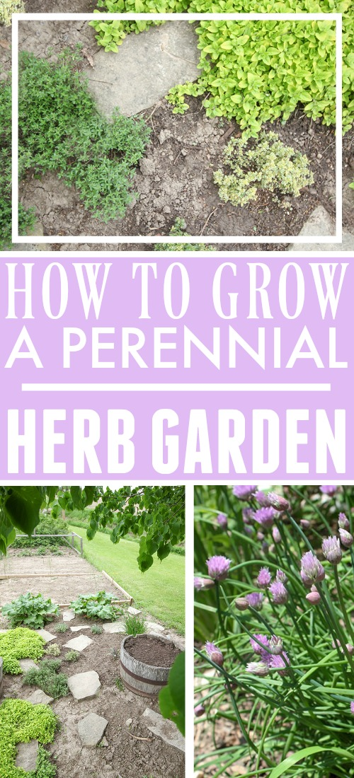If you love the idea of herb garden that you can plant once and enjoy over and over again for years to come, then perennial herbs are for you! Here's how to grow a perennial herb garden, and which herbs to choose.
