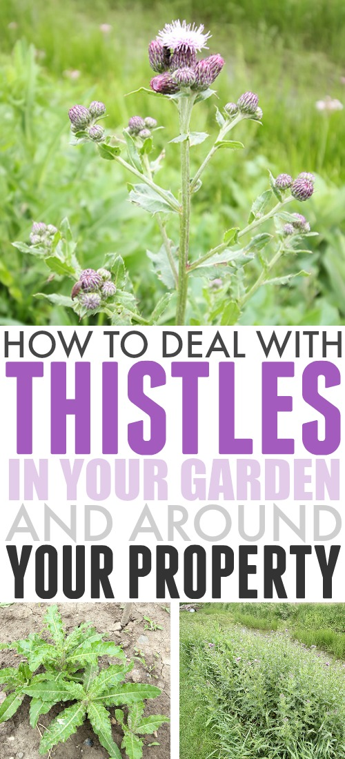 If you have a large yard, or if you live in a rural area, thistles can be a pretty common issue. Here are my favourite, most effective and practical ways to deal with thistles in your garden and on your property.