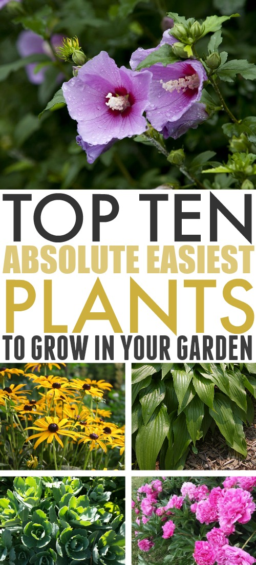 Whether you're new to gardening, or just want to set up fuss-free landscaping around your home, this list of the easiest plants to grow in your garden will set you in the right direction!