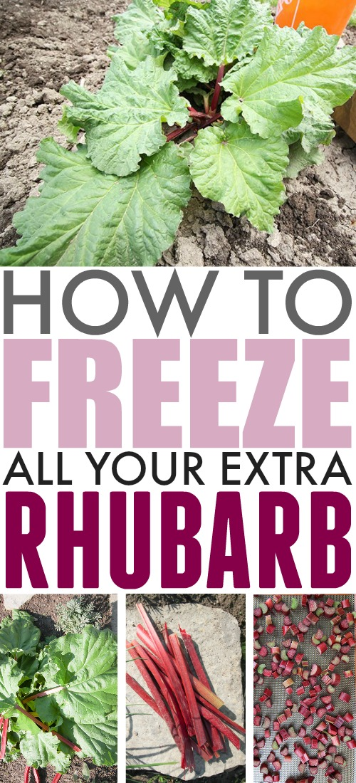 If you have an abundance of rhubarb in your garden, but don't think you'll manage to use it all up during the rhubarb season, make sure you don't let it go to waste! Here's how to freeze rhubarb.